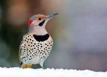 Yellow Shafted Flicker in snow Stock Photo