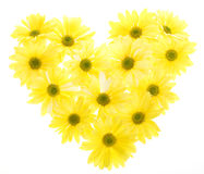 Yellow Shasta Daisies Arranged in Heart Shape Royalty Free Stock Image