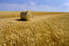 Yellow sheaf of hay and field with ears royalty free stock photography