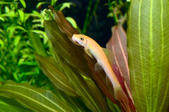 Yellow sheat-fish resting on the leaf Stock Image