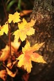 Yellow sheet grape maple Royalty Free Stock Photography