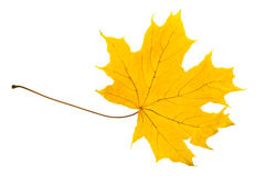 Yellow sheet of a maple Royalty Free Stock Photography