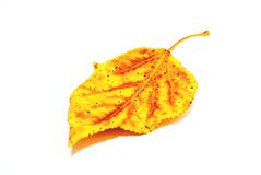 Yellow sheet. Yellow poplar leaf on a white background stock image