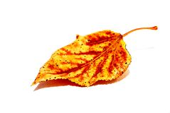 Yellow sheet. Yellow poplar leaf on a white background stock images