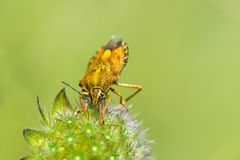 Yellow shield bug. Royalty Free Stock Photography