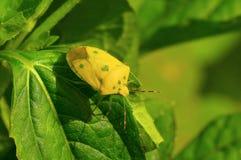 Yellow shield bug on a green leaf near Sangli. Maharashtra Stock Photography