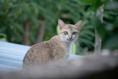 Yellow shorthair cat sitting on zinc roof. Cat  watching at something and sitting behide wall Stock Images
