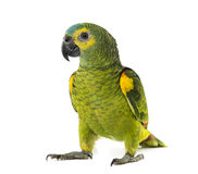 Yellow-shouldered amazon, Amazona barbadensis. In front of a white background Royalty Free Stock Images