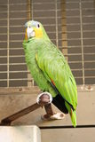 Yellow-shouldered amazon parrot. A picture of a parrot perched Royalty Free Stock Image