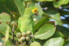 Yellow shouldered Parrot in Almond Tree - Bonaire Stock Photography