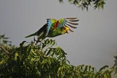 Yellow-shouldered Parrot (Amazona barbadensis). Taking flight Stock Image