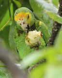 Yellow shouldered Parrot Eating an Almond Stock Photos