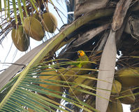Yellow-shouldered parrot (lora) Stock Images