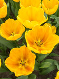 Yellow show tulips Stock Image