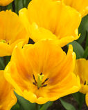 Yellow show tulips Royalty Free Stock Images