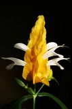 Yellow Shrimp Plant Stock Photo