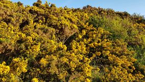 Yellow shrubs in spurn point uk royalty free stock photography