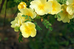 Yellow siberian rose Royalty Free Stock Photo