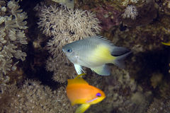 Yellow-side damselfish (amblyglyphidodon flav.) Royalty Free Stock Images