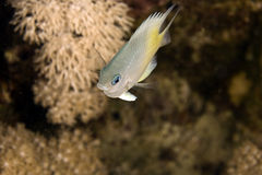 Yellow-side damselfish (amblyglyphidodon flav.) Stock Image