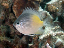 Yellow-side damselfish Royalty Free Stock Photo