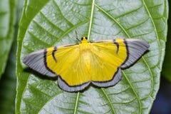 Yellow signata moth  hanging under leaf Royalty Free Stock Images