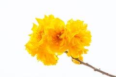 Yellow silk cotton flower Royalty Free Stock Image