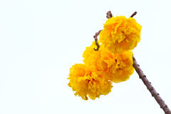 Yellow silk cotton flowers and blue sky background Royalty Free Stock Photos