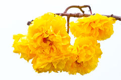 Yellow silk cotton flowers and blue sky background Stock Photography