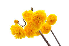 Yellow silk cotton flowers and blue sky background Royalty Free Stock Image