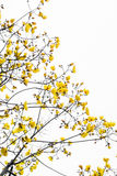Yellow Silk Cotton Tree flower on tree isolated Stock Image