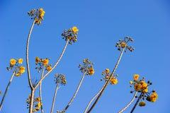 Yellow silk cotton tree flowers Stock Photography