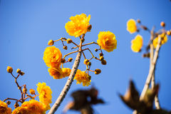 Yellow silk cotton tree flowers Royalty Free Stock Photography