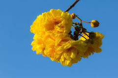 Yellow silk cotton tree flowers Royalty Free Stock Photos