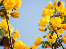 Yellow silk cotton tree flowers Stock Image