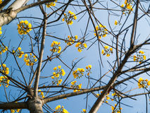 Yellow silk cotton tree flowers Stock Photos