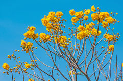 Yellow Silk Cotton Tree flowers Royalty Free Stock Image
