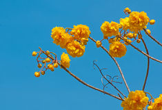 Yellow Silk Cotton Tree flowers Royalty Free Stock Images