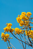 Yellow Silk Cotton Tree flowers Stock Photography