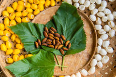 Yellow silkworm cocoon shell through the Silk Route Royalty Free Stock Image