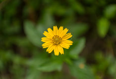 Yellow singapore daisy. Single yellow singapore daisy flower Royalty Free Stock Photography