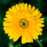 Yellow single daisy flower closeup, natural background. Royalty Free Stock Photography