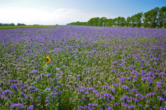 Yellow single Sunflower in the field of purple Phacelia flowers. Honey plants. Beautiful countryside natural landscape Royalty Free Stock Photos