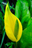 Yellow Skunk Cabbage Closeup Royalty Free Stock Images