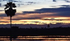 Yellow sky before sunset over shadow tree in rice field in evening. For background Royalty Free Stock Images