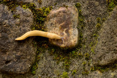 Yellow slug. On the rocks after rain royalty free stock image