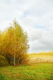 Yellow small birches on edge of forest and meadow Royalty Free Stock Image
