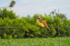 Yellow small bird Royalty Free Stock Photography