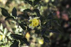 Yellow small blooming rose in park on light green background stock image
