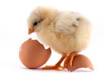 The yellow small chick Royalty Free Stock Photography